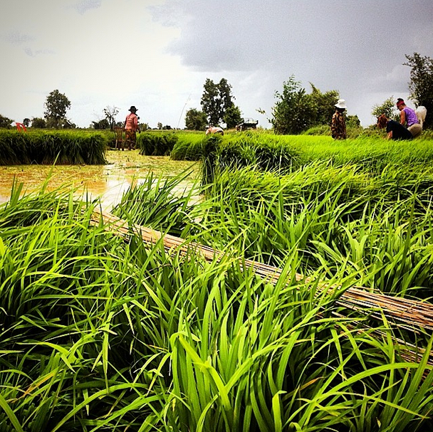 Farming in the Rice Fields