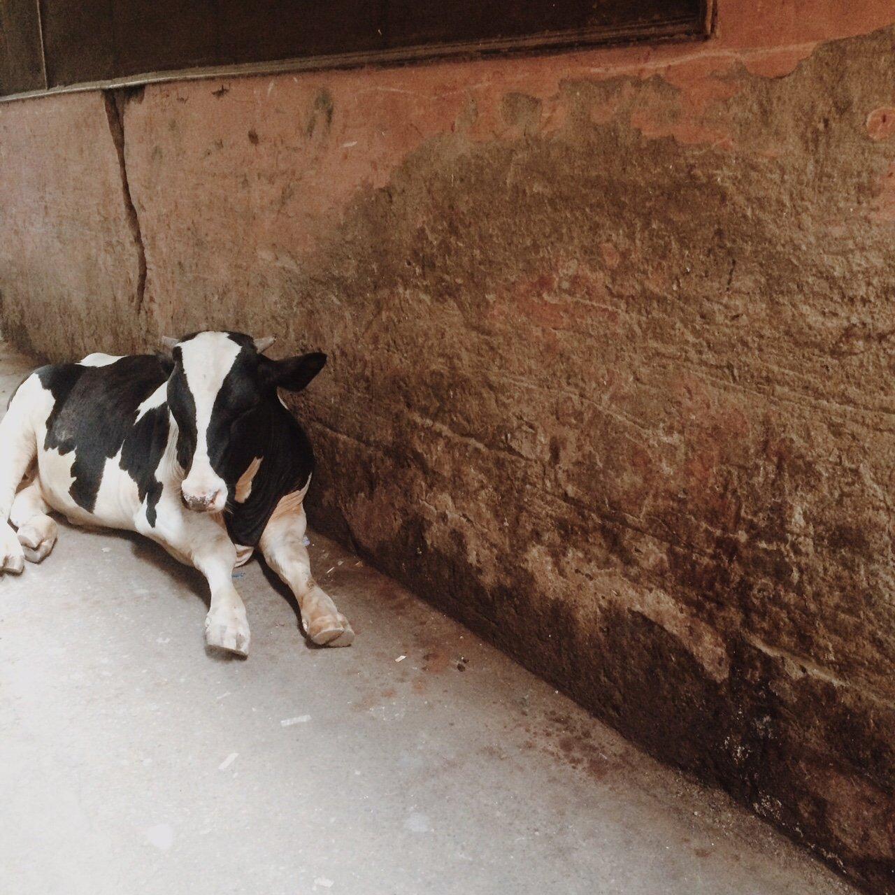 Cow in Delhi